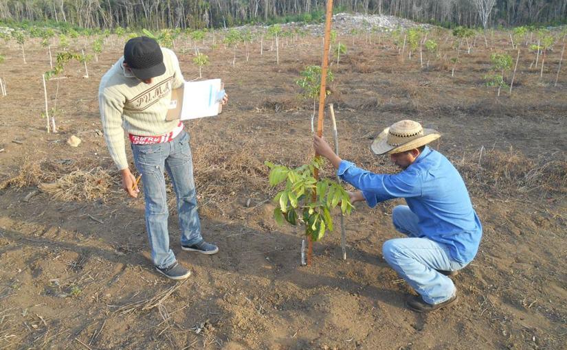 Alcanza 90% de sobrevivencia caoba producida en semillero de QuintanaRoo