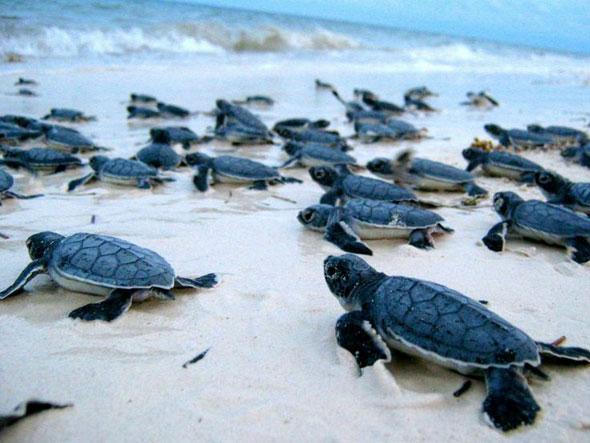 Liberan tortugas en hotel con finesturísticos