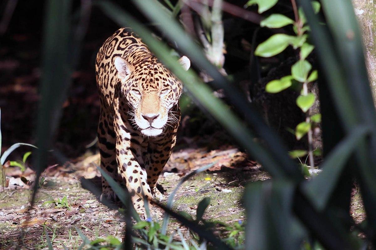 Adiós al Señor Jaguar de Quintana Roo, Pablo Navarro