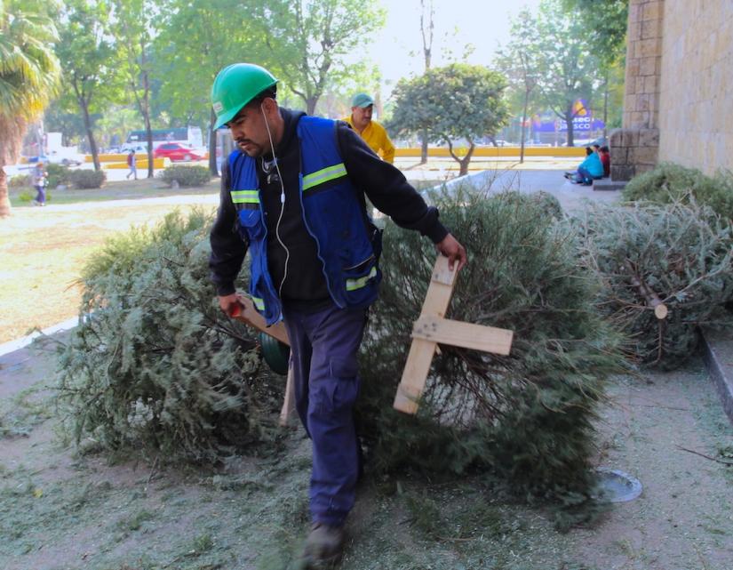 Abren 235 centros de acopio para pinos navideñosnaturales